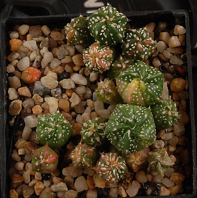 Astrophytum asterias coahuilense variegata  4310
