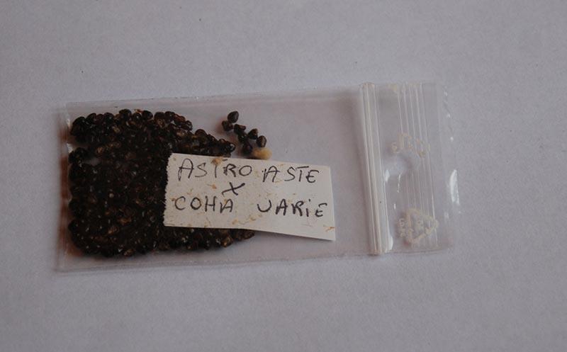 Astrophytum asterias coahuilense variegata  4411