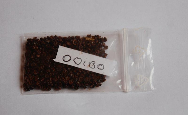 Astrophytum asterias ooibo 4510
