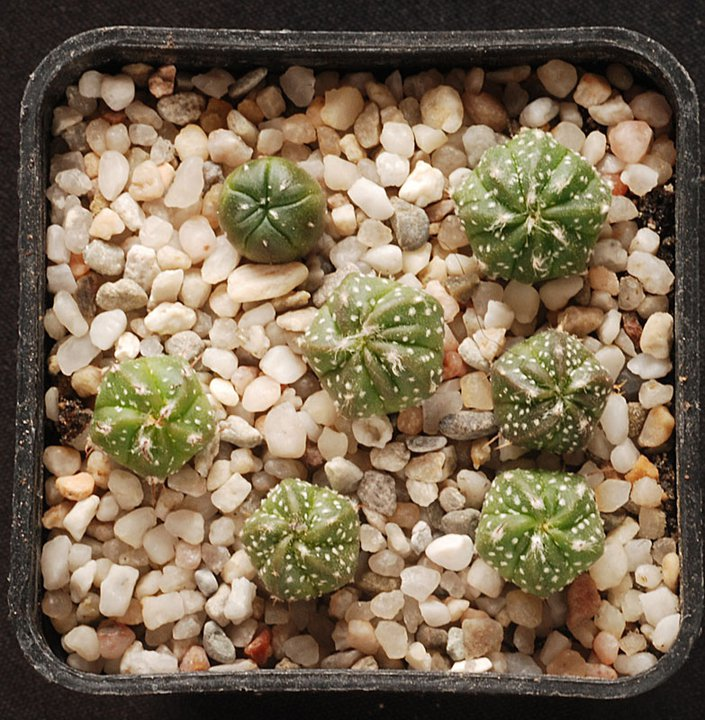 Astrophytum asterias ooibo 4710