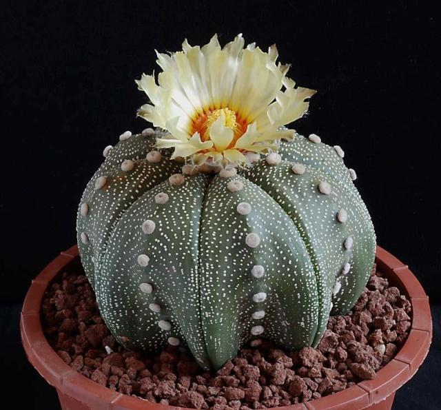 Astrophytum asterias ooibo 4810