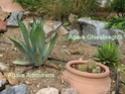 Des espèces plus «exotiques», palmiers, agaves Dsc02214