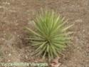 Des espèces plus «exotiques», palmiers, agaves Dsc02215