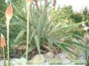 Des espèces plus «exotiques», palmiers, agaves Septem13