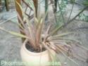 Des espèces plus «exotiques», palmiers, agaves Septem15