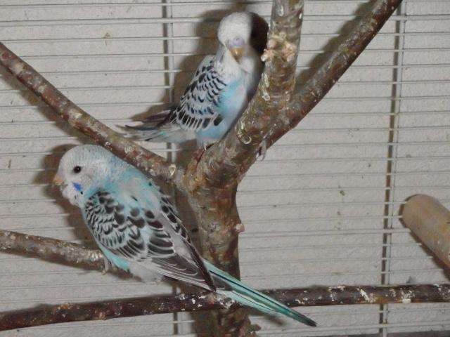 mes oiseaux exotique  - Page 10 P1150010