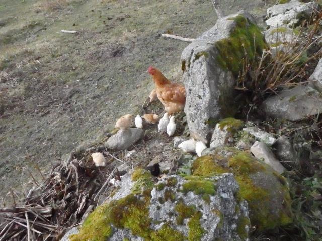 les petites oies née hier et mes autres animaux - Page 5 Pc210015