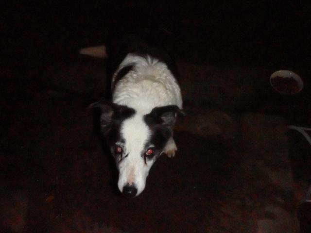 question a propos de ma vielle chienne de 15 ans - Page 4 Pc280012