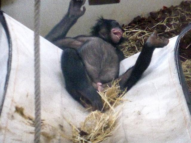 LA PHOTO DU JOUR  Bonobo10