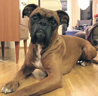 Boxerrüde Coco 5 Jahre alt sucht ein Zuhause Coco_110