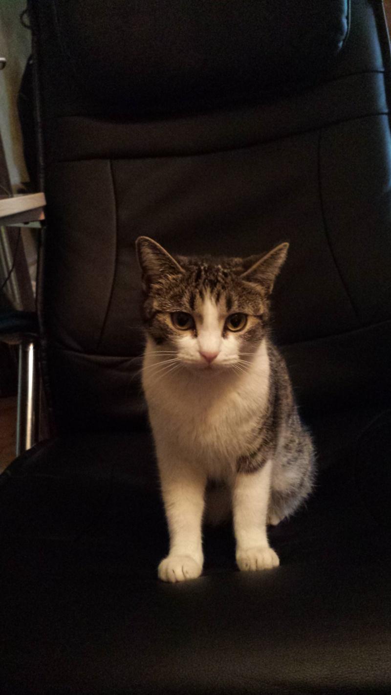 Trouvée jeune chatte tigrée et blanche à Colomiers 20140213