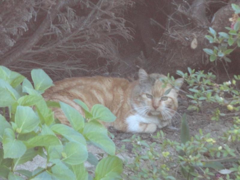 Trouvé gros chat roux  allée Belle Ile à Colomiers Dsc07610