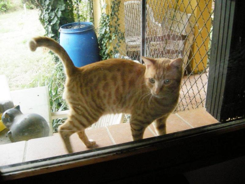 Trouvé à la Salvetat St Gilles, jeune chat roux tigré Dscn2511