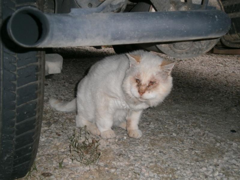 Trouvé chat ''beige' à Plaisance du Touch Pa160010