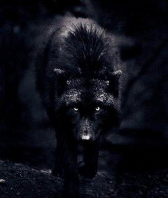Créatures fantastiques au grès de la toile 2013-2014 Loup_n10
