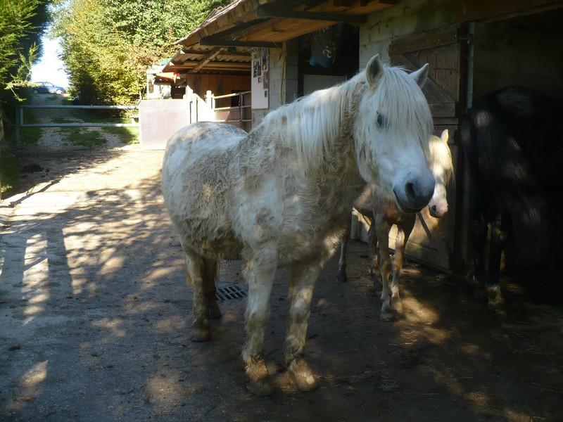 DIABOLO  - OI Poney - né en 1991 - adopté en novembre 2009 par Gaëlle Visite16
