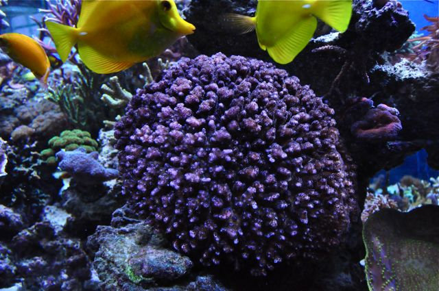 le reef tank d'harold - Page 40 A17
