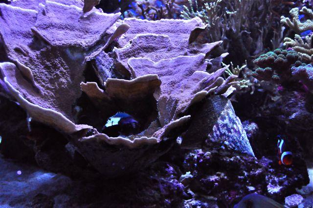 le reef tank d'harold - Page 3 Dsc_0024