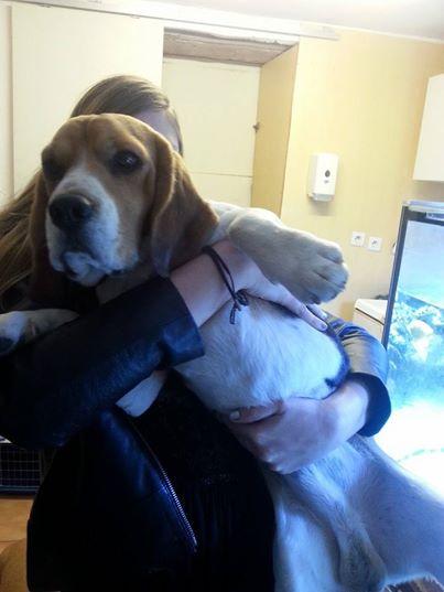 Beagle mâle à adopter dans les Alpes Maritimes  Beagl_10