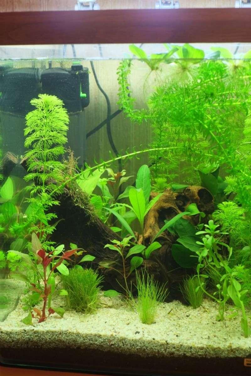Mon Retour à l'aquariophile, Nano 60L méthode Walstad Aqua-013