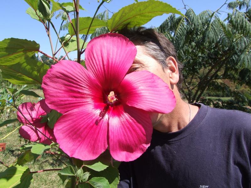 hibiscus moy grande 08082712
