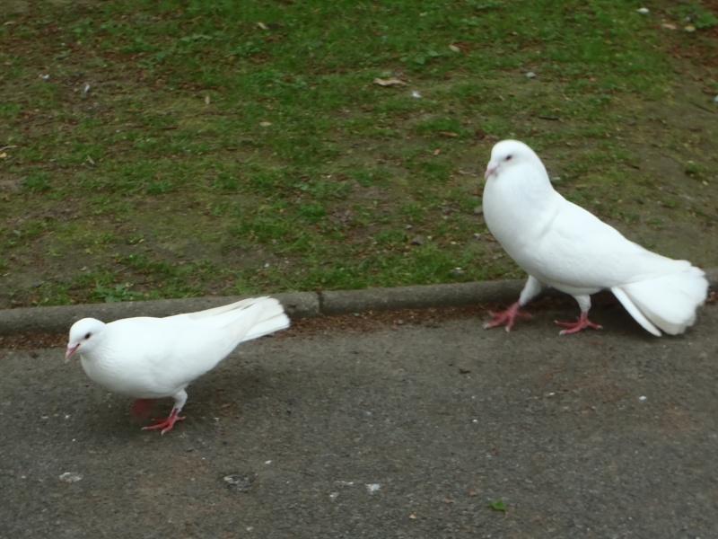 sait-on tout sur les pigeons..? P4128211