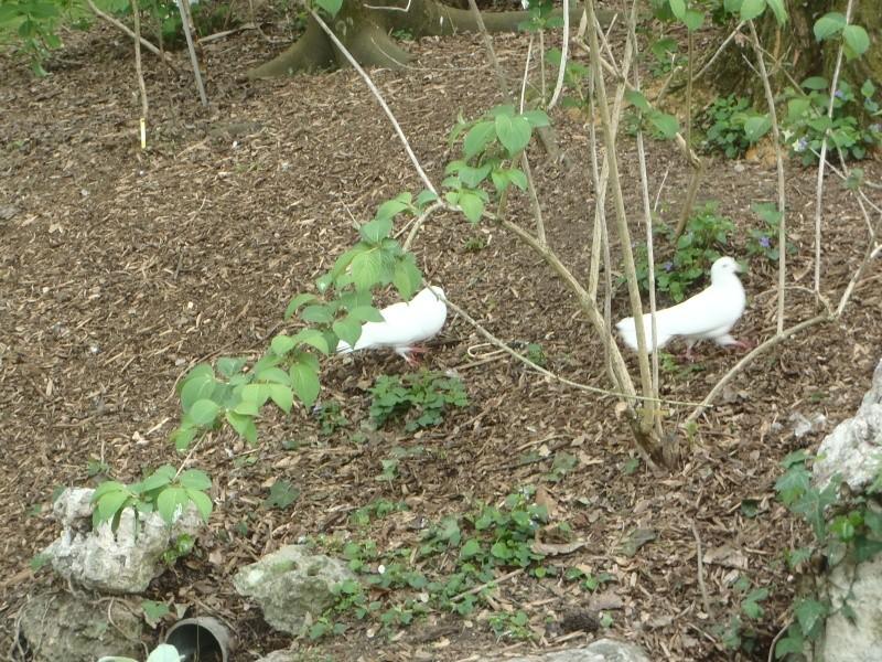 sait-on tout sur les pigeons..? P4128310
