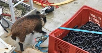 L'incroyable histoire d'un sanglier repêché en mer  Sangli10