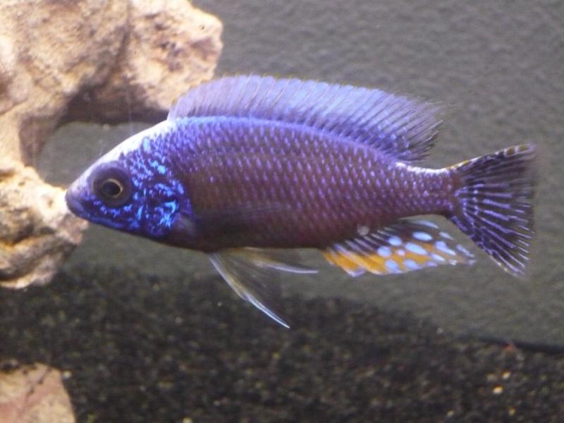 photos et videos de vos poissons du malawi P1020111