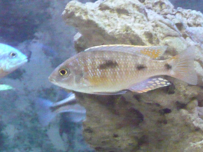 photos et videos de vos poissons du malawi P1020112