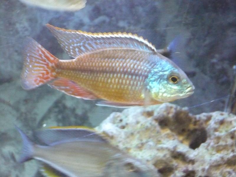 photos et videos de vos poissons du malawi P1020311