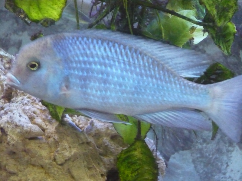 photos et videos de vos poissons du malawi P1020312
