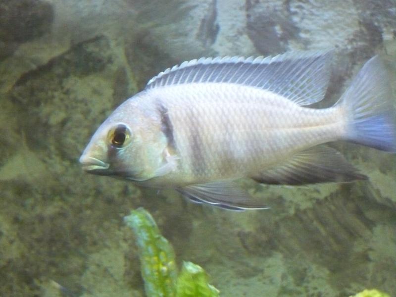 photos et videos de vos poissons du malawi P1020313