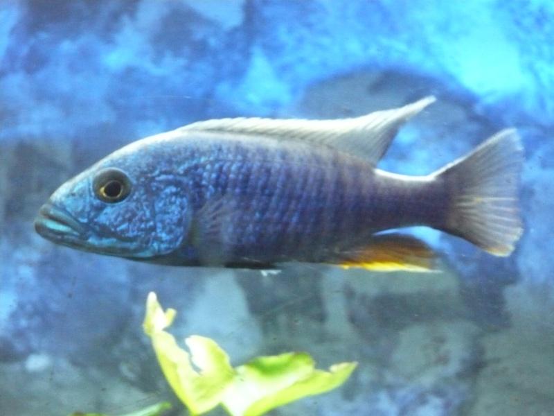 photos et videos de vos poissons du malawi P1020315