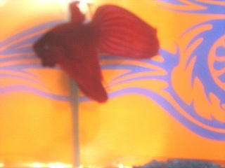 nageoire abimé animalerie Betta10