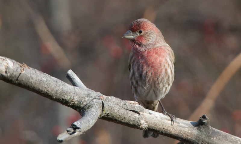 Cardinal,Bicolore ...... Dsc_7714