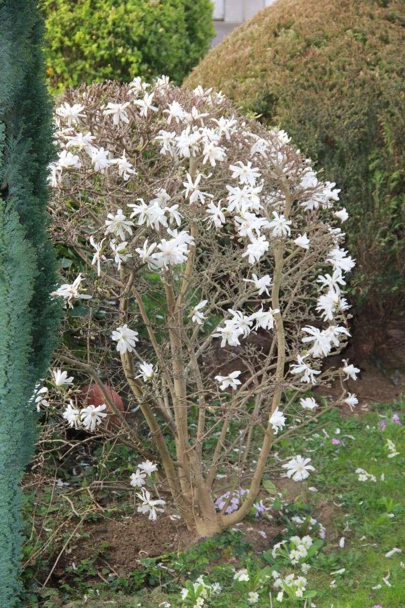 C'est quoi ? Magnolia stellata Img_6611