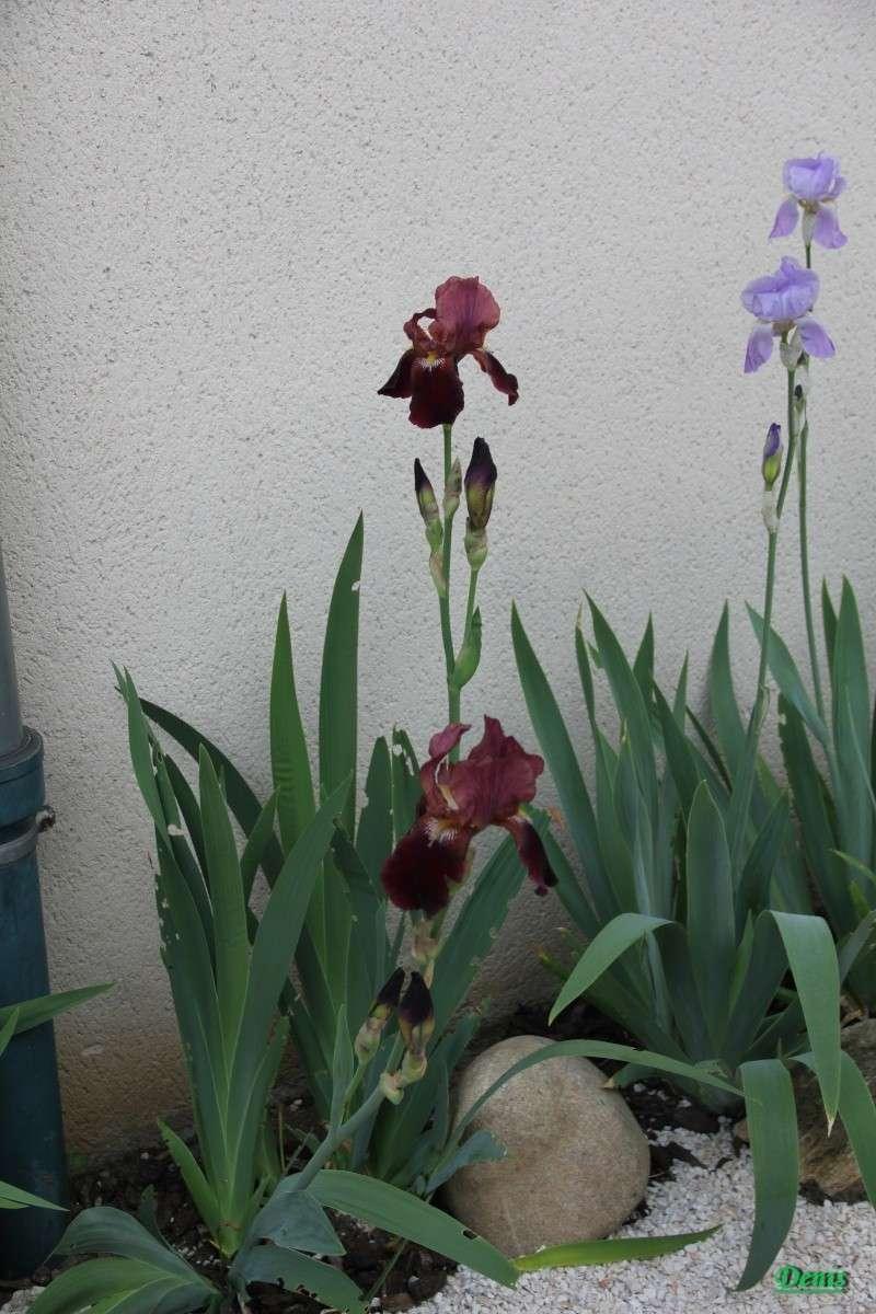 Iris : floraison 2014 - Page 5 Iris310
