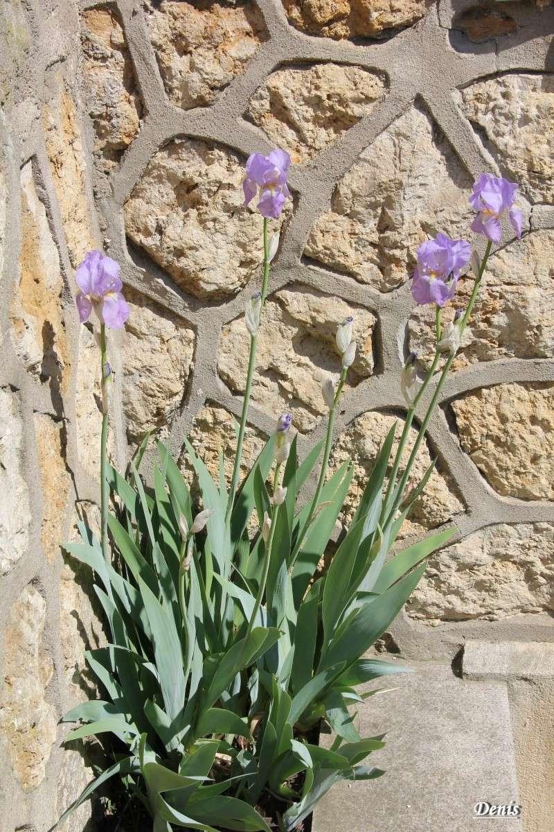 Iris : floraison 2014 - Page 5 Iris_110