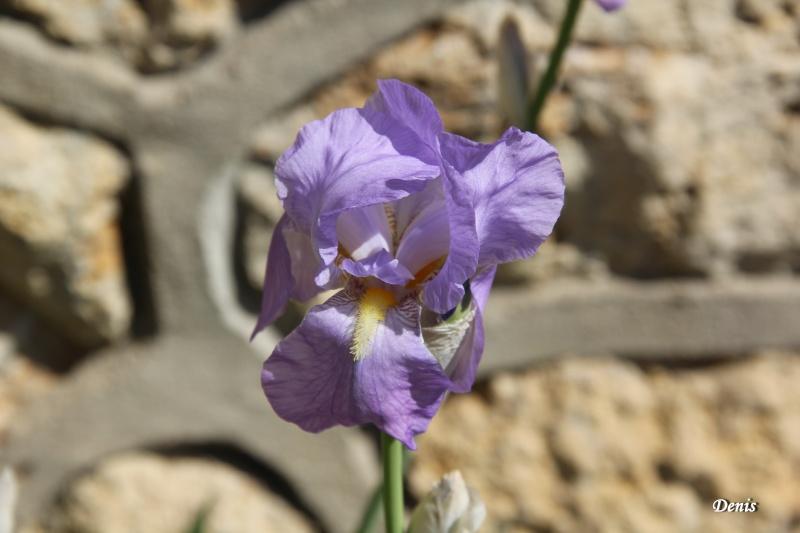 Iris : floraison 2014 - Page 5 Iris_210