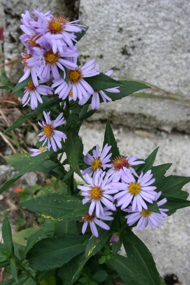 Aster  00510
