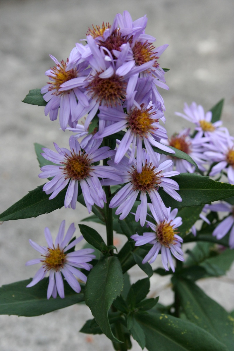 Aster  00710