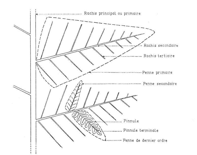 Divisions aberrantes chez les fougères du Carbonifère Bourea10