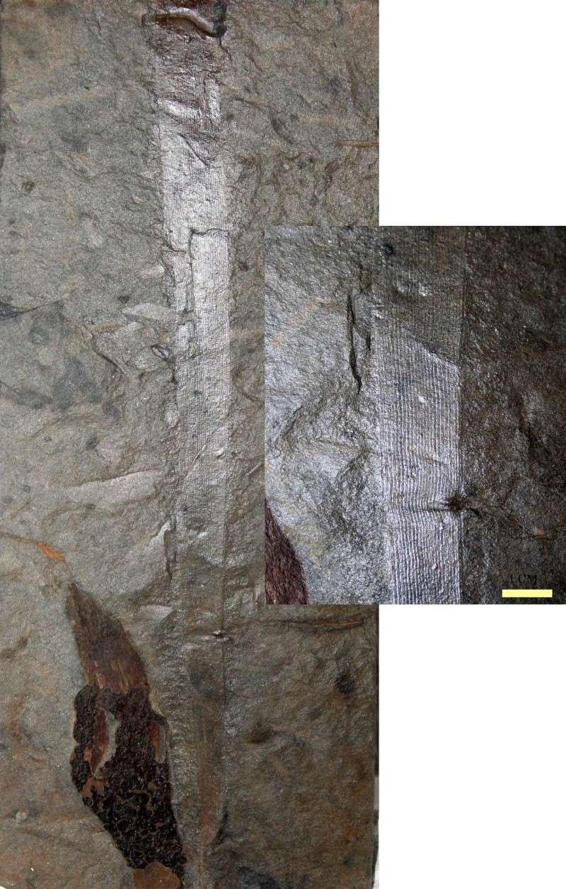 Flore Carbonifère des Alpes Françaises part 1 Cordai13