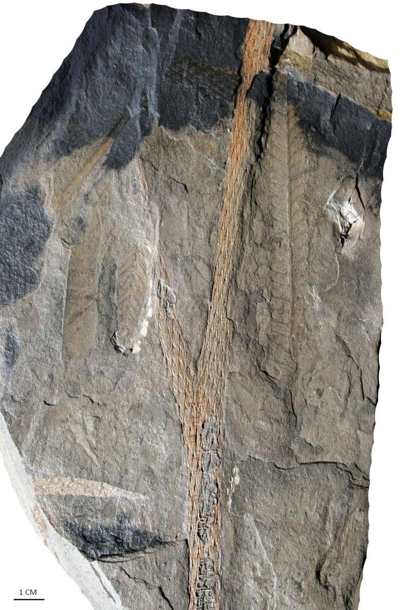Flore Carbonifère des Alpes Françaises part 1 Img_1211