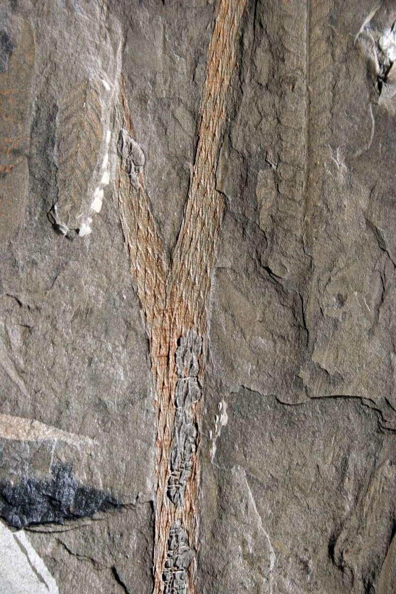 Flore Carbonifère des Alpes Françaises part 1 Img_1212