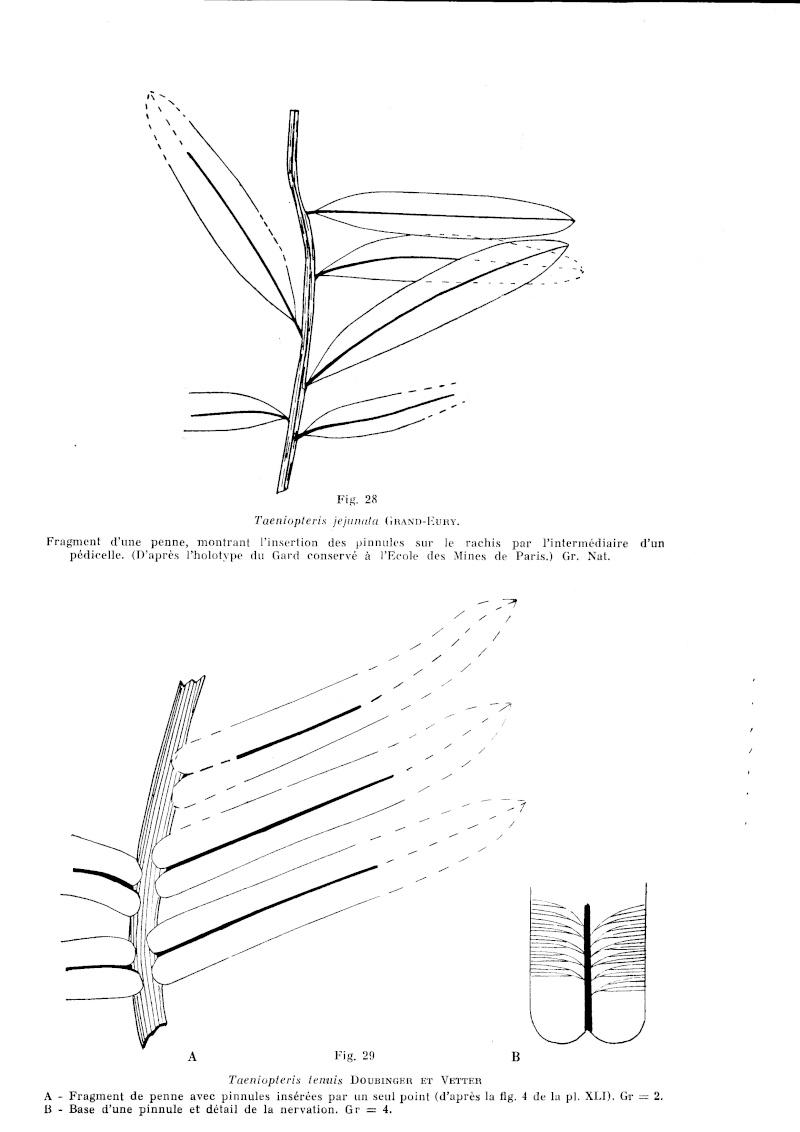 Flore Carbonifère des Alpes Françaises part 1 P_129_10