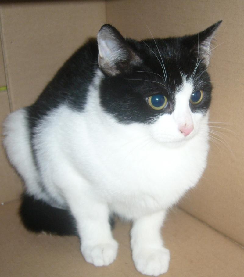 IKADO Europeen blanc et noir ( chaton de XENA ) P1190726