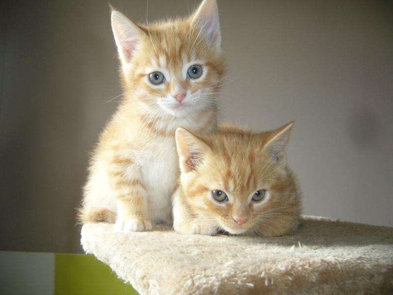 Chatons males 2 mois tigrés  roux avec un peu de blanc Photos13