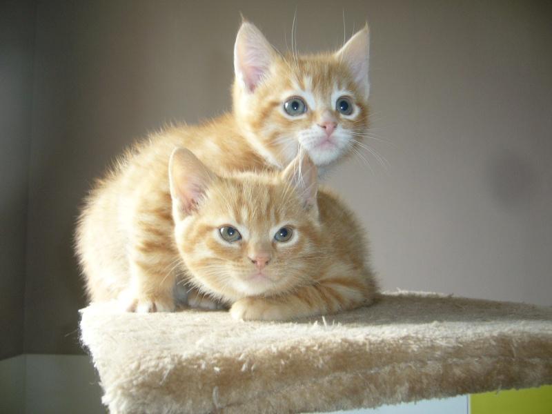 Chatons males 2 mois tigrés  roux avec un peu de blanc Photos14